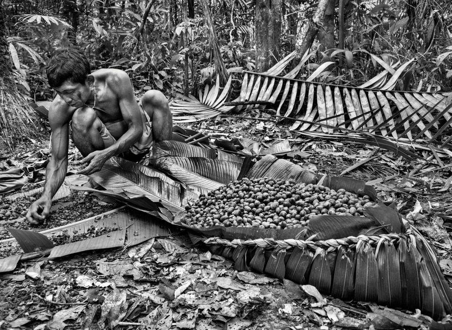 Sur les feuilles nouées d'un palmier, ses fruits, qui donneront une boisson délicieuse et nourrissante. Les Yanomami cultivent potagers et vergers près de leurs villages.