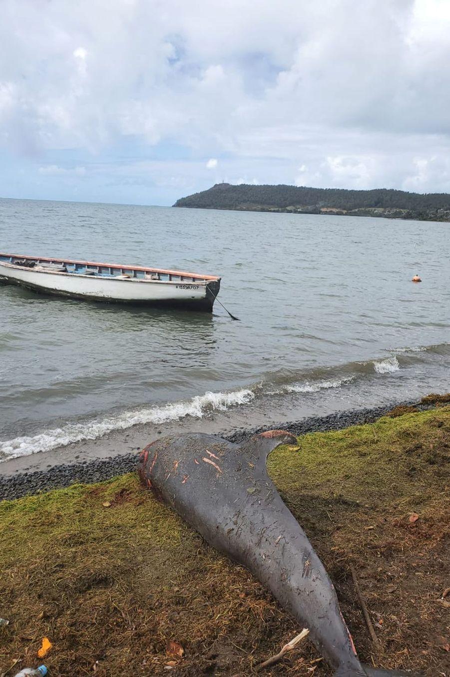 Un dauphin échoué sur les côtes mauriciennes.