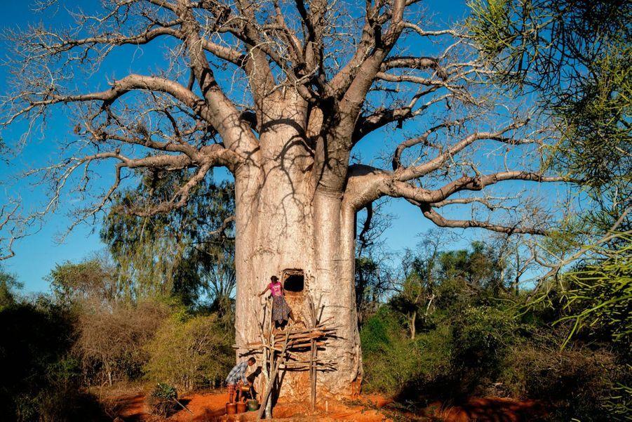 Chaque baobab-citerne porte un nom. Celui-ci s'appelle Malaindrano, « Celui qui déteste l'eau » : il est si gros qu'il semble impossible à remplir.
