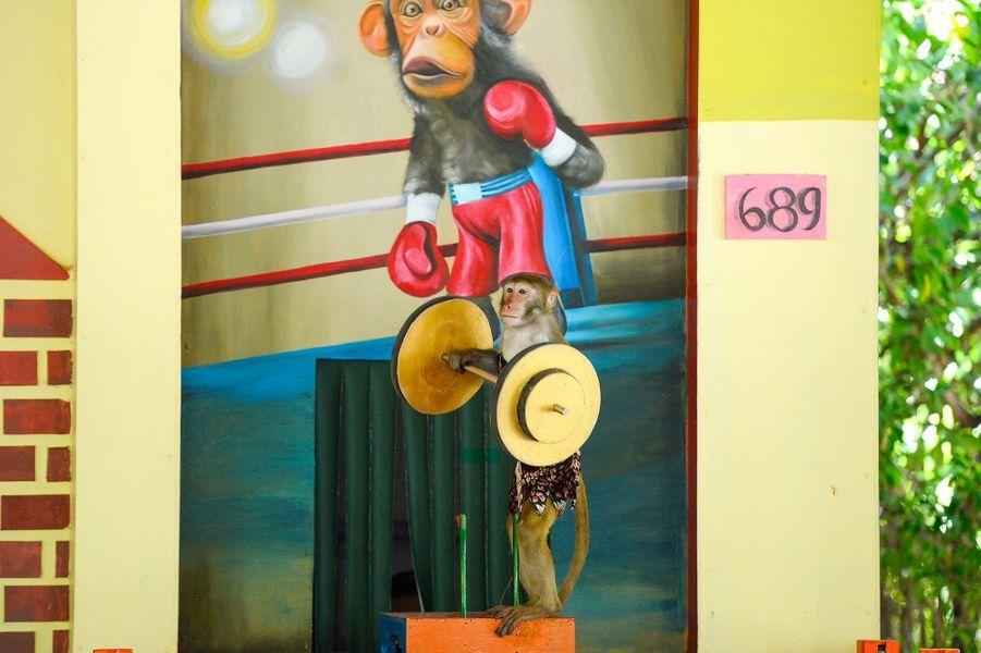 Un macaque haltérophile.