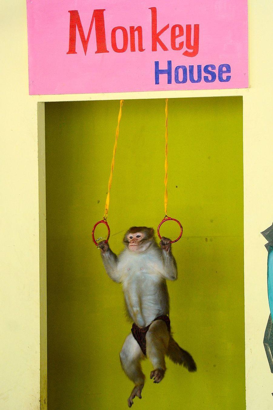 Un macaque qui fait de la gymnastique.