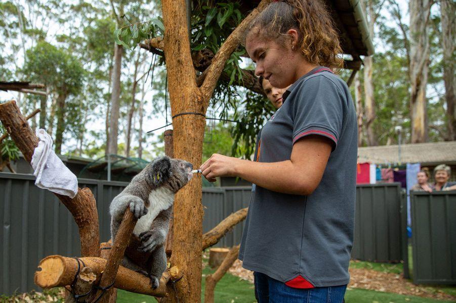 Les koalas en détresse sont pris en charge dans un hôpital spécial àPort Macquarie enNouvelle-Galles du Sud dans lequel des vétérinaires bénévoles exercent des soins.
