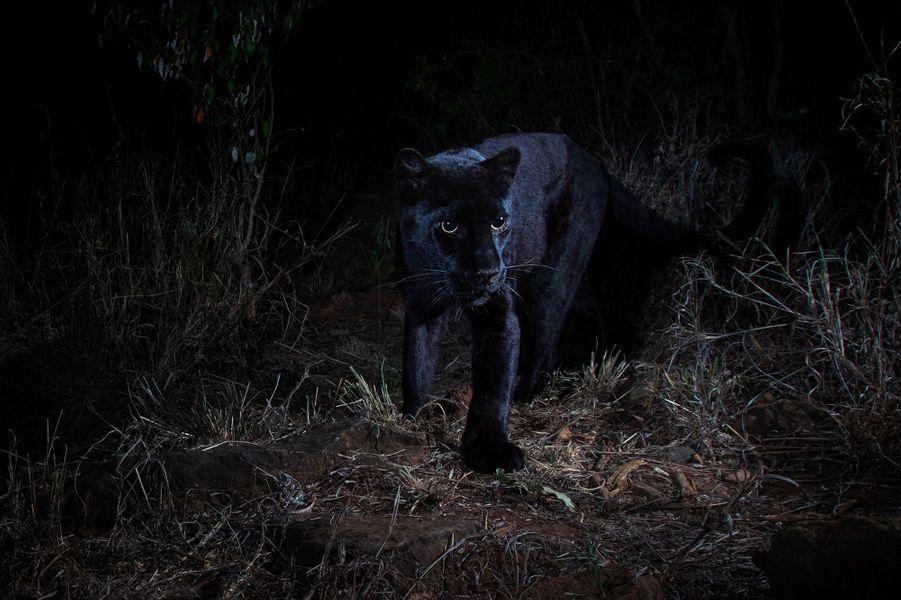 Une panthère noire sauvage (Panthera pardus pardus), photographiée entre février et avril 2018 dans le comté de Laikipia, au Kenya.