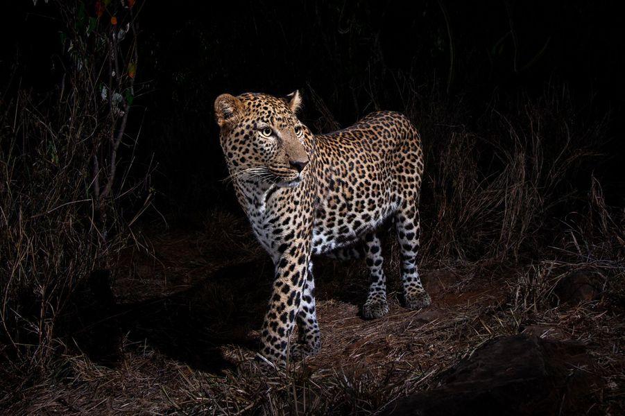 Un leopard classique, photographié entre février et avril 2018 dans le comté de Laikipia, au Kenya.