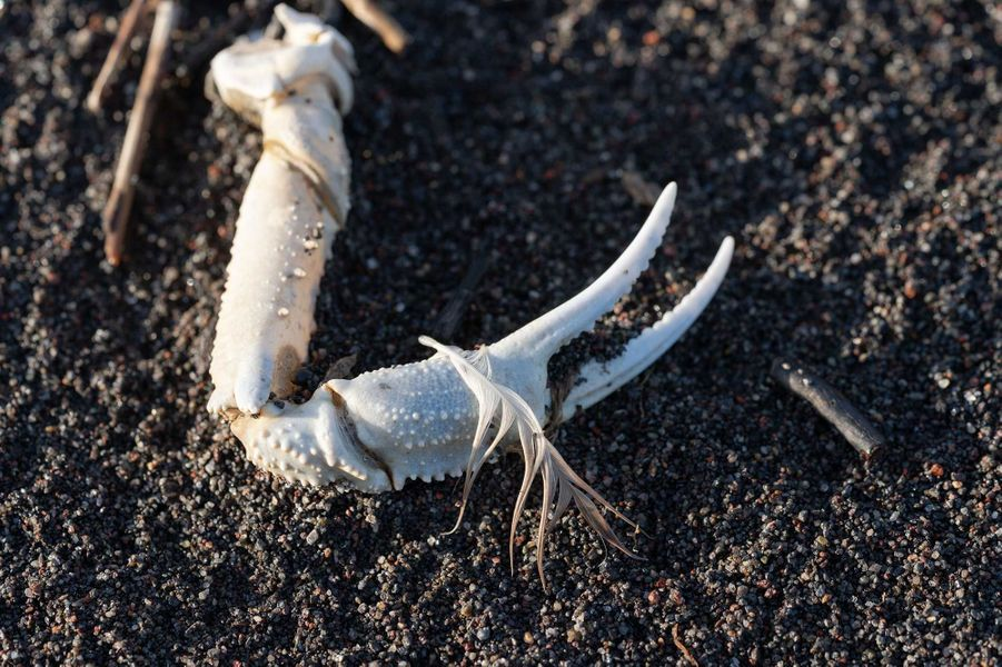 Une carcasse de crabe.