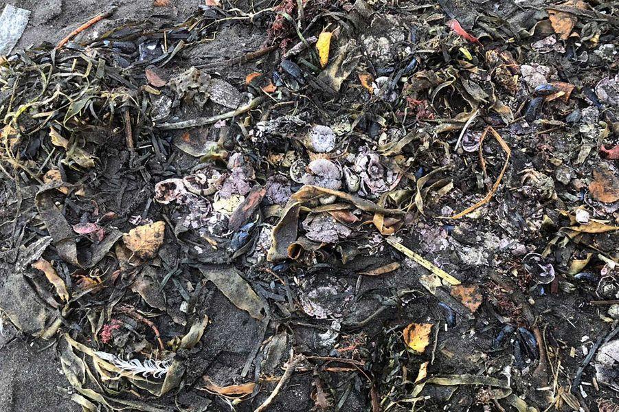 Carcasses de crustacés et d'oursins à perte de vue.