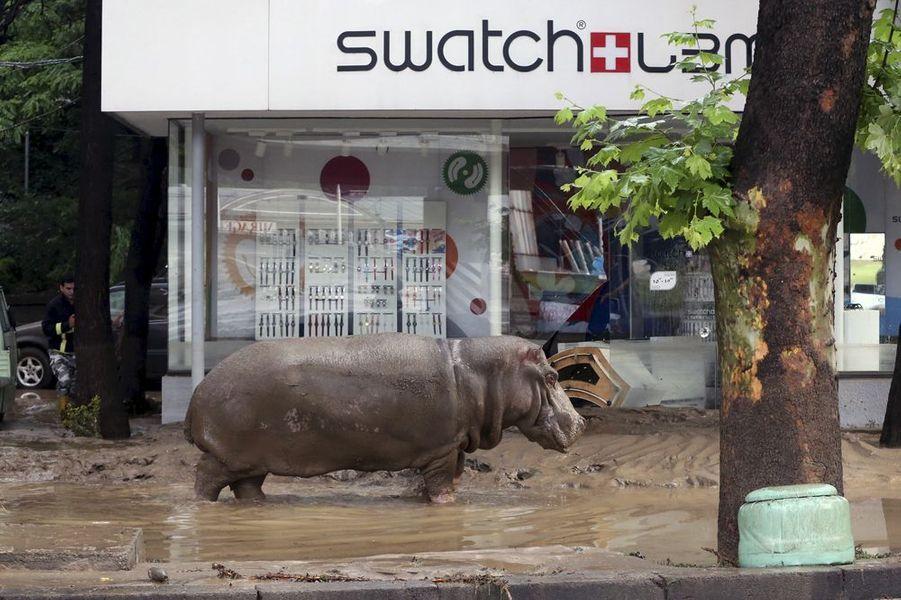 Juin 2015. Inondations à Tbilissi, Géorgie. Un hippopotame échappé du zoo.