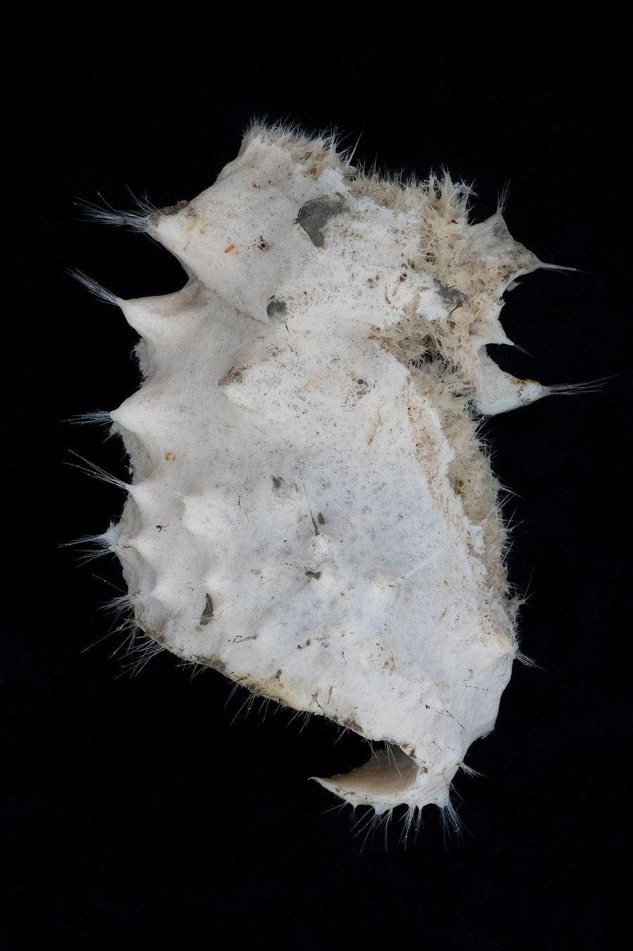 Une éponge de mer Hexactinellid.
