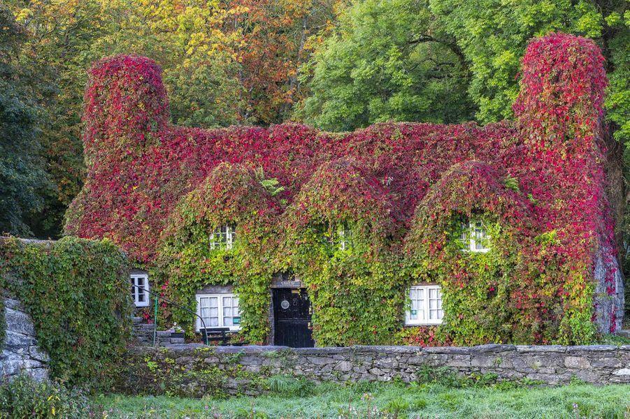 Une maison de thé recouverte de vignes au Pays de Galles.