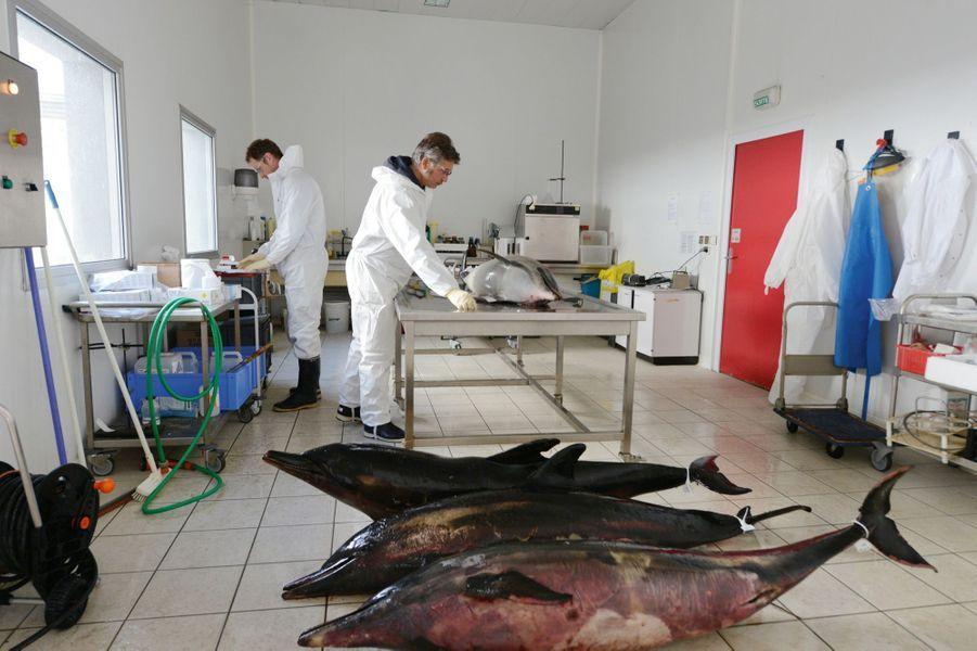 Le 8 mars, dans la salle d'autopsie de l'observatoire Pelagis (CNRS), à l'université de La Rochelle. Pour chaque dauphin, les scientifiques recherchent la cause de la mort.