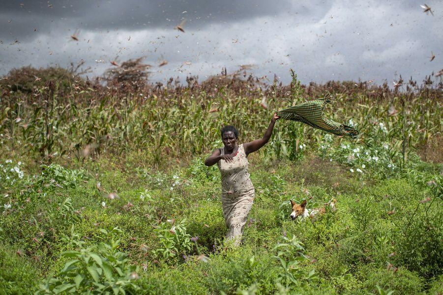 Des essaims de criquets d'une ampleur historique, totalisant plusieurs milliards d'insectes, dévastent depuis plusieurs semaines la Somalie, à la suite de variations climatiques extrêmes.