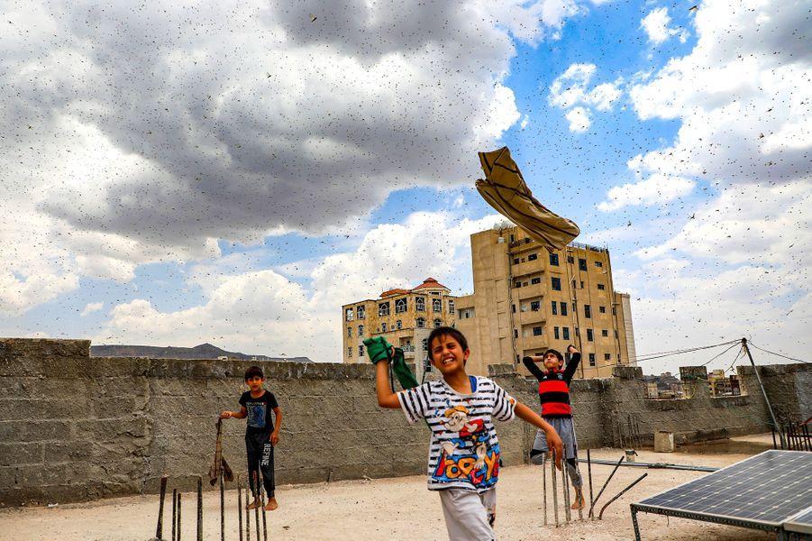 Des millions de criquets pèlerins ont survolé la capitale du Yémen.