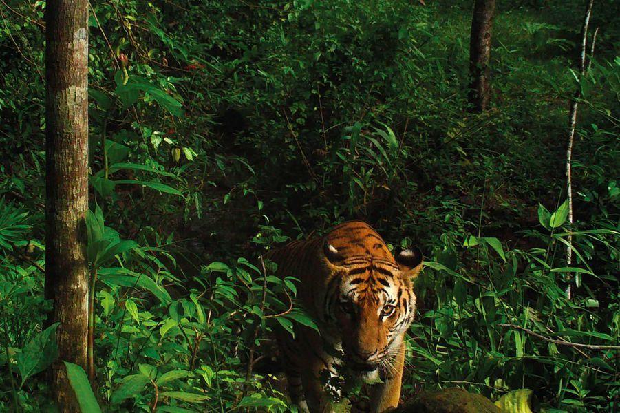 Les tigres indochinois dans un parc thaïlandais, récemment découverts par le collectif Panthera.