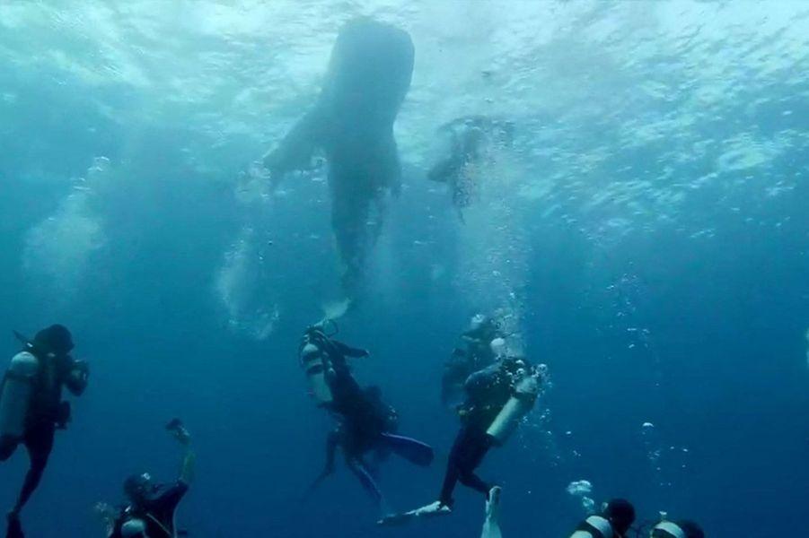 Des plongeurs de Submaldives ont sauvé un requin-baleine pris au piège dans un sac à gravats.