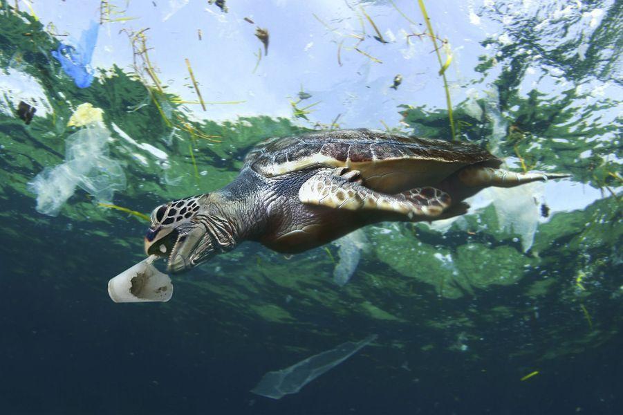 Une tortue tente d'avaler un gobelet en plastique.