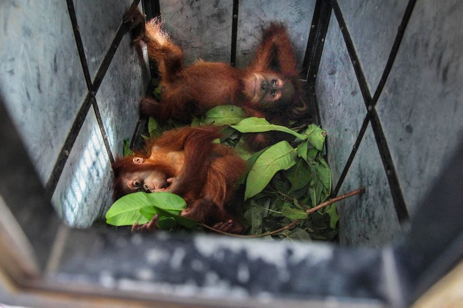 Deux orangs outans -un male de deux ans et une femelle d'un an- ont été découverts en bonne santé jeudi dans le village d'Empus, sur l'île de Sumatra (Indonésie). Ils étaient destinés au marché noir.