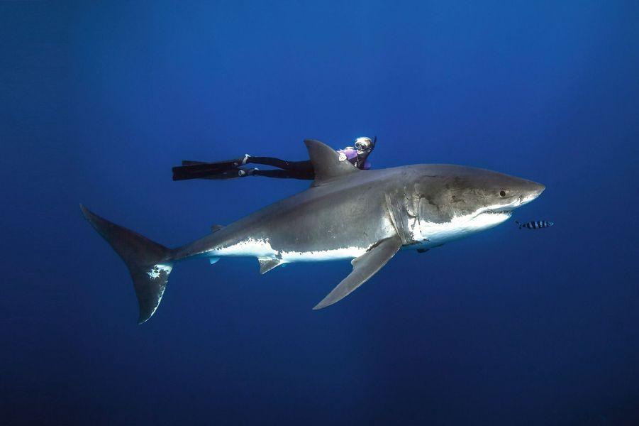 La biologiste marine de 31 ans joue les poissons-pilotes pour ce requin blanc, unefemelle de près de 5 mètres. Au large de Guadalupe, une île du Mexique.