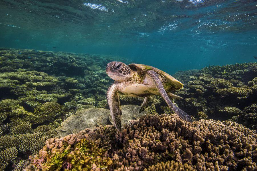 Une tortue marine au milieu des coraux dans lerécif de Ningaloo, sur la côte ouest de l'Australie.
