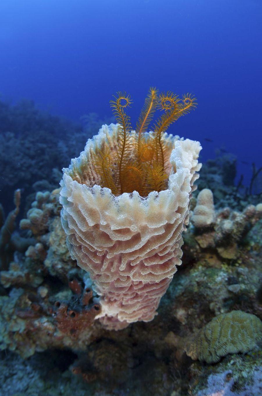 Vase d'éponge de mer dans l'atoll de Turneffe, au Belize.