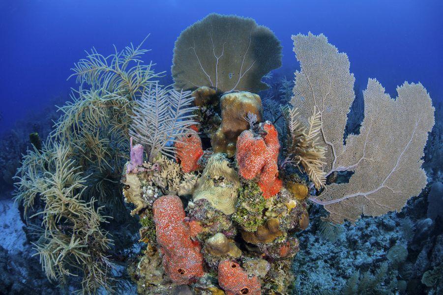 Ensemble de corauxdans l'atoll de Turneffe, au Belize.