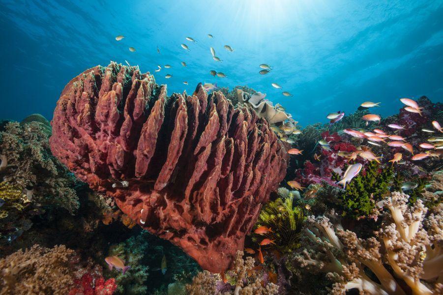 Un Baril de rhum (une espèce d'éponge)au milieu des coraux au large des îles Moluques, en Indonésie.