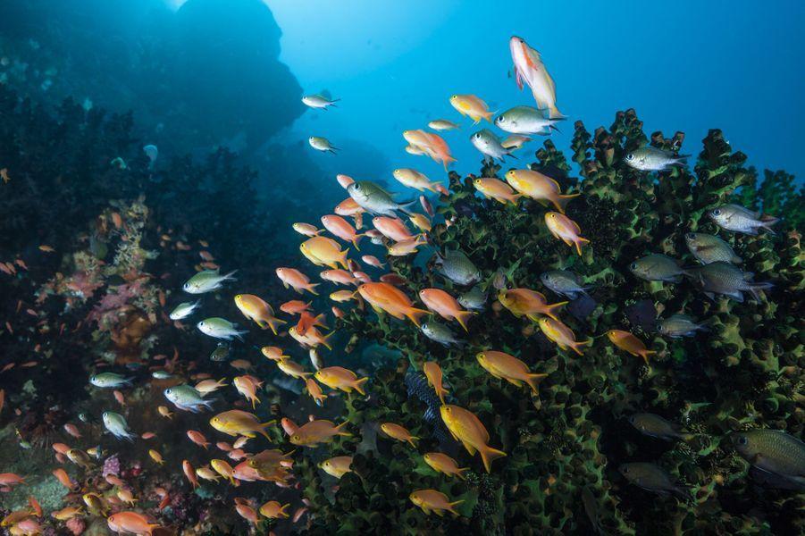Des Pseudanthias huchtii au milieu des coraux au large des îles Moluques, en Indonésie.