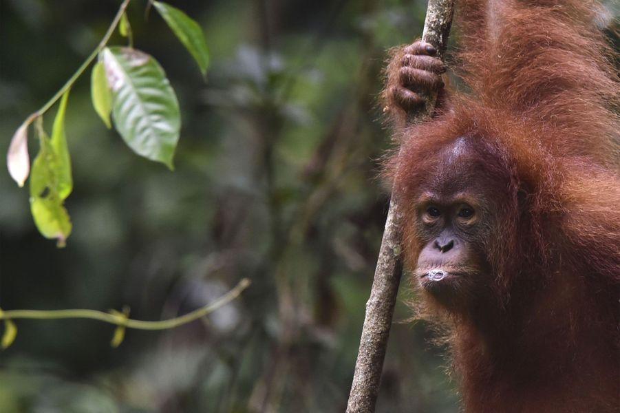 Des orangs-outans remis en liberté en Indonésie