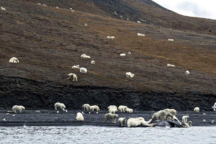 En Sibérie, sur la terre ferme, des ours affamés dévorent une baleine