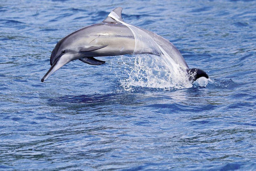 Un dauphin surpris par des touristes au large de Moorea, en Polynésie.