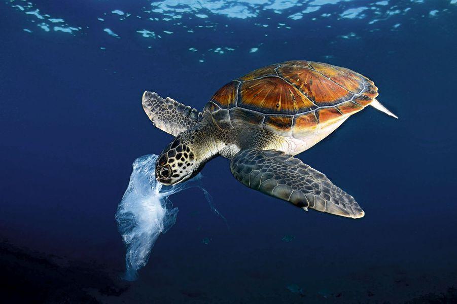 Ça ressemble à une méduse, le plat favori des tortues vertes des eaux tropicales.