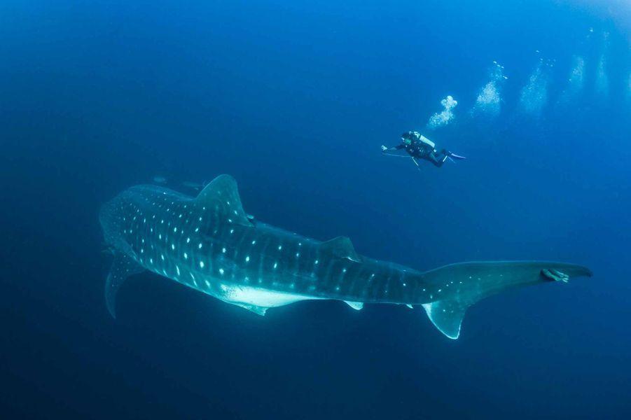 Pour la première fois, des chercheurs duGalapagos Whale Shark Project ont réalisé une échographie sous-marine sur ce requin-baleine femelle.