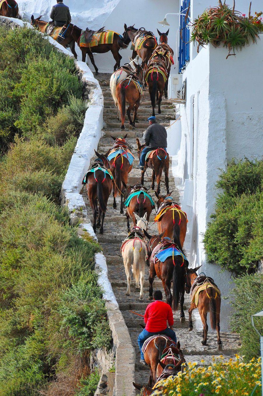 Chaque jour, les ânes de l'île de Santorin gravissent plus de 500 marches en pierre et ce 4 à 5 fois par jour, en pleine chaleur, d'après PETA.