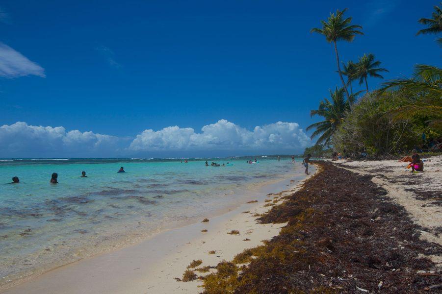 Sargasses sur une plage de Sainte-Anne en Guadeloupe, fin avril.