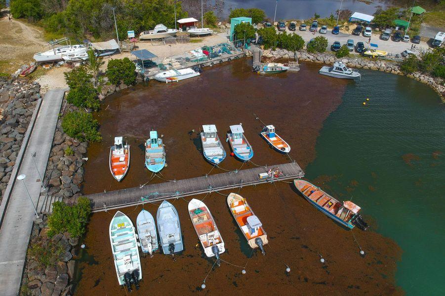 Un port envahi de sargasses au Gosier, en Guadeloupe, fin avril.