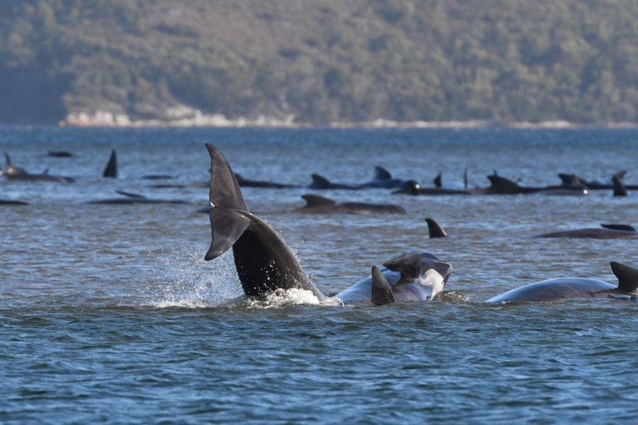 Des centaines de globicéphales coincés dans une baie reculée de Tasmanie sont morts