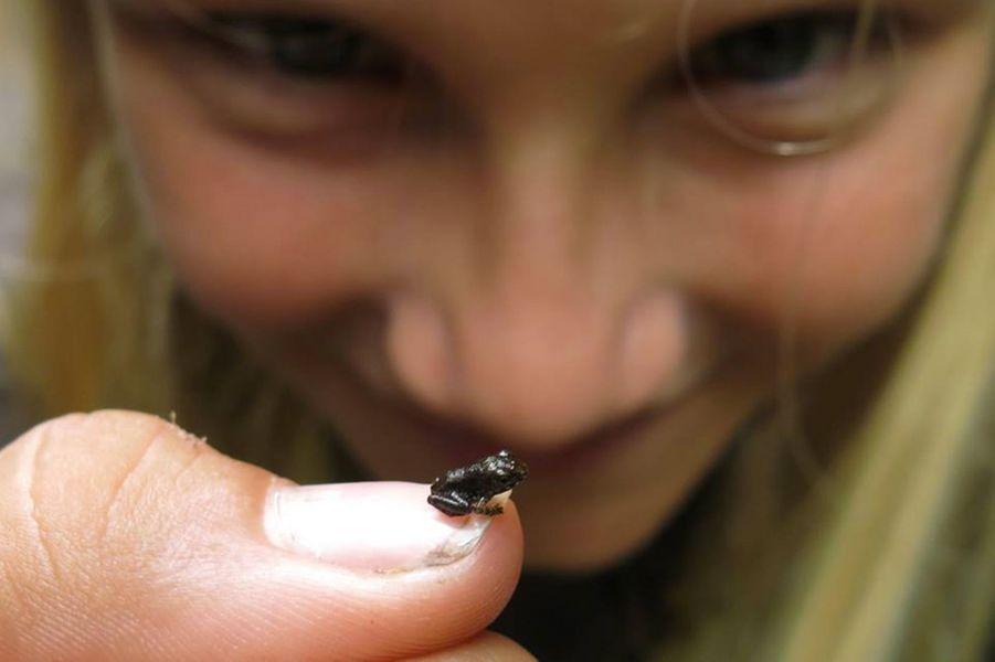 La plus petite grenouille du monde qui évolue dans la forêt de Vohibola :Stumpffia Vohibolensis.