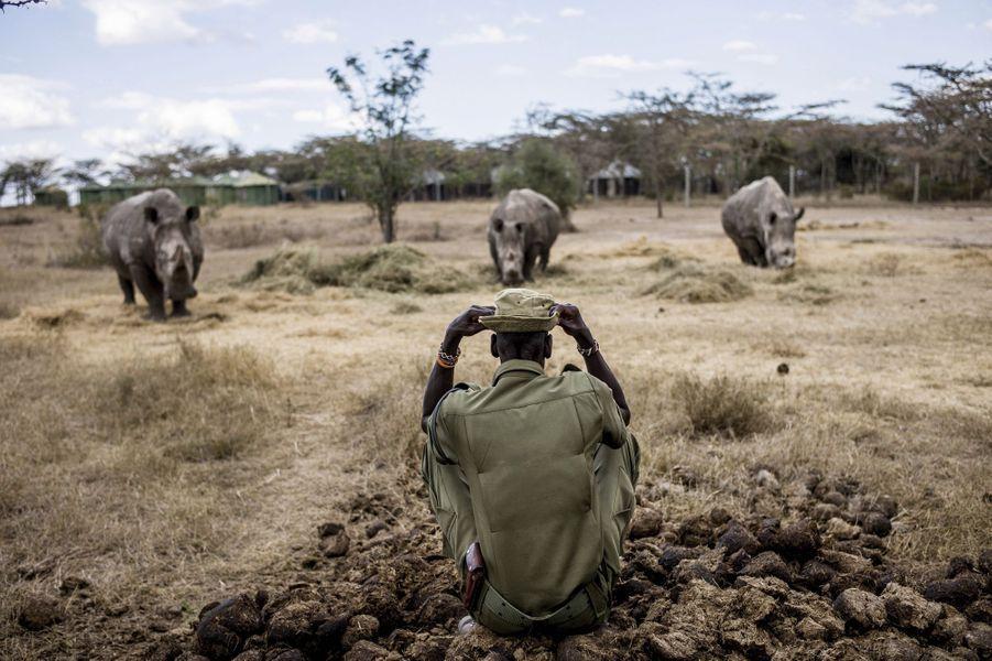 Le soigneur Peter Osegon, devant Najin et Fatu, les dernières femelles rhinocéros blancs du Nord, en compagnie d'un rhinocéros blanc du Sud (à gauche).