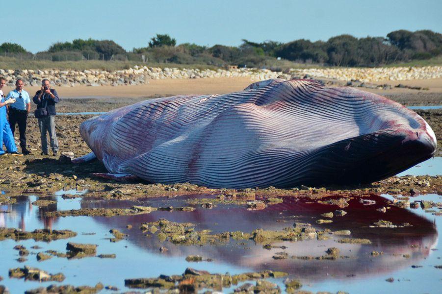 La baleine échouée sur la plage du Pas de Bernicard d'Ars-en-Ré.