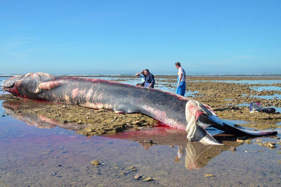 La baleine échouéesur la plage du Pas de Bernicard d'Ars-en-Ré.