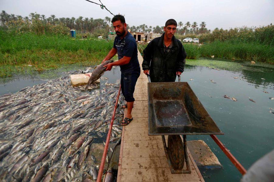 A la surface de l'eau, des milliers de carpes flottent retournées, l'oeil vitreux: depuis quelques jours dans la province irakienne de Babylone, les pisciculteurs ne récoltent plus que despoissonsmorts, touchés par un mystérieux mal qui remonte l'Euphrate.