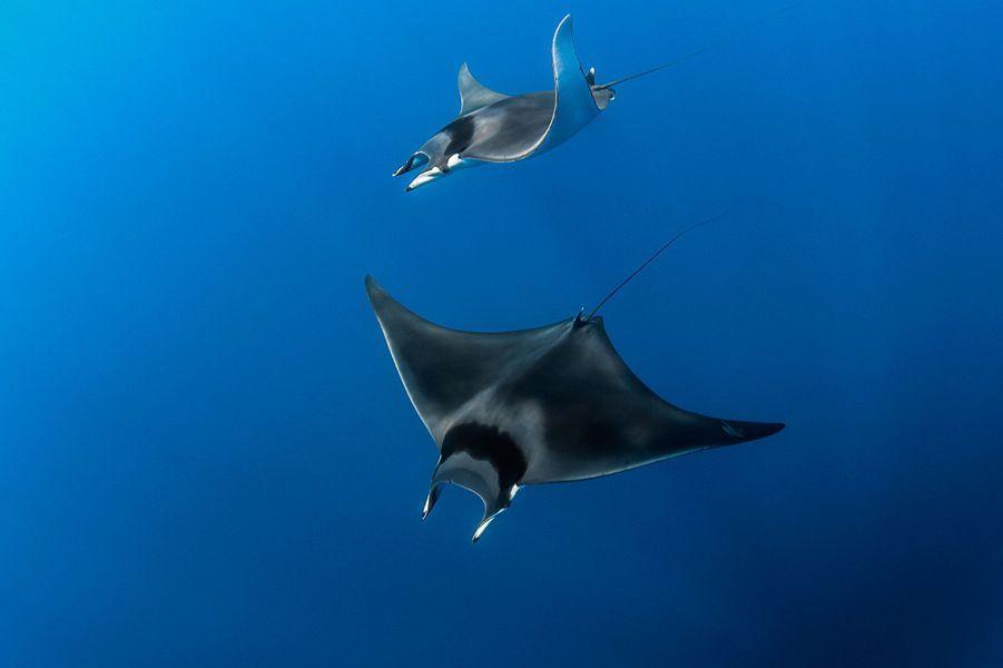 Raie Mobula (Mobula mobular) ou Diable de mer Méditerranéen au large de la Côte d'azur