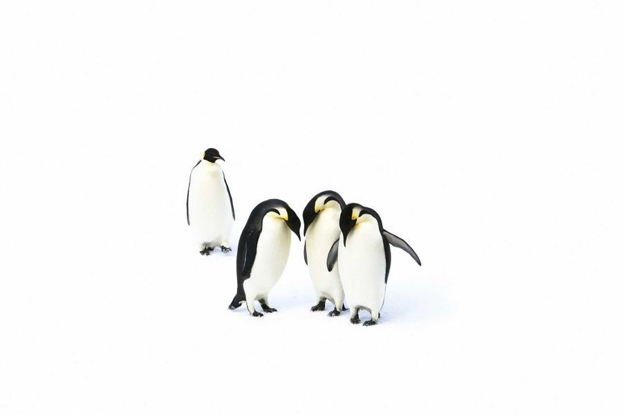 Emperor Penguins de John Weller
