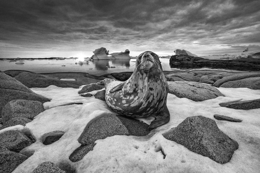 Weddell seal de Andy Mann