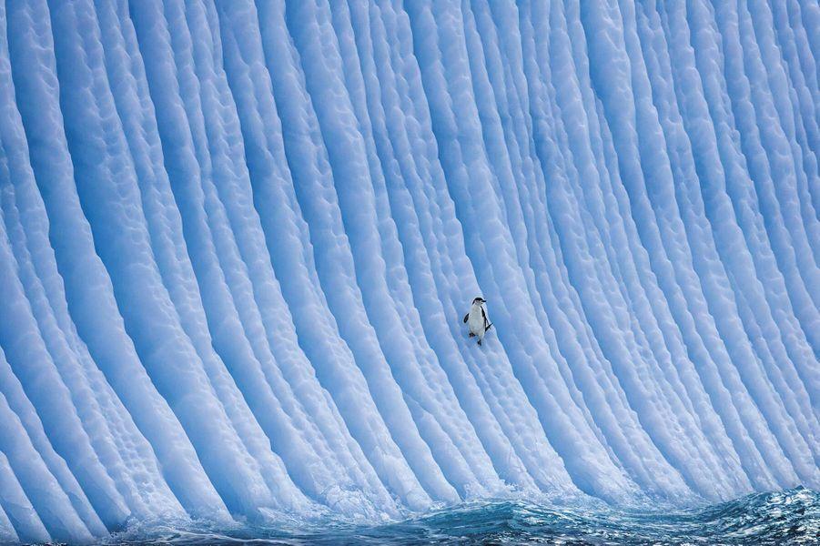 Chinstrap penguin on iceberg de Paul Nicklen