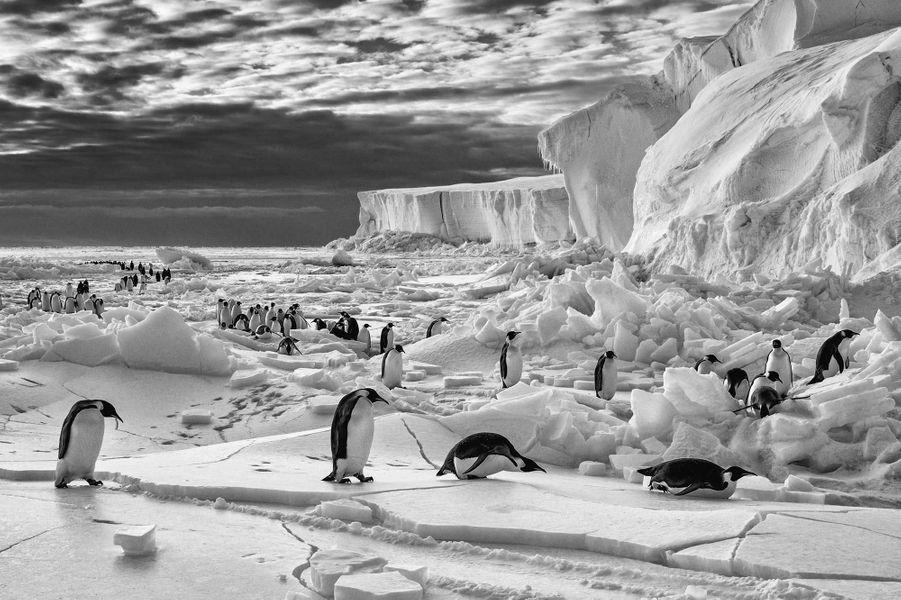 Emperor Penguins on sea ice de Paul Nicklen