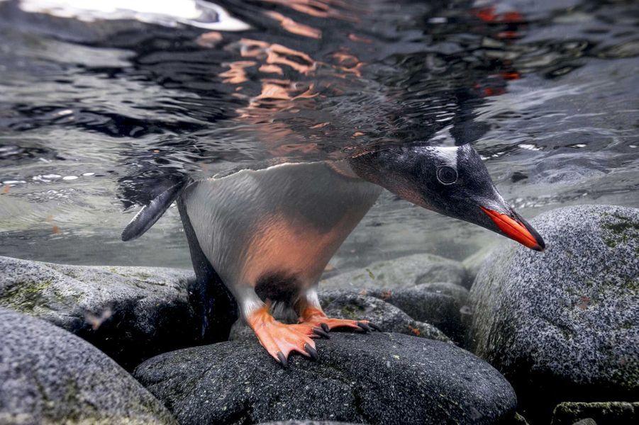 Gentoo penguin dePaul Nicklen