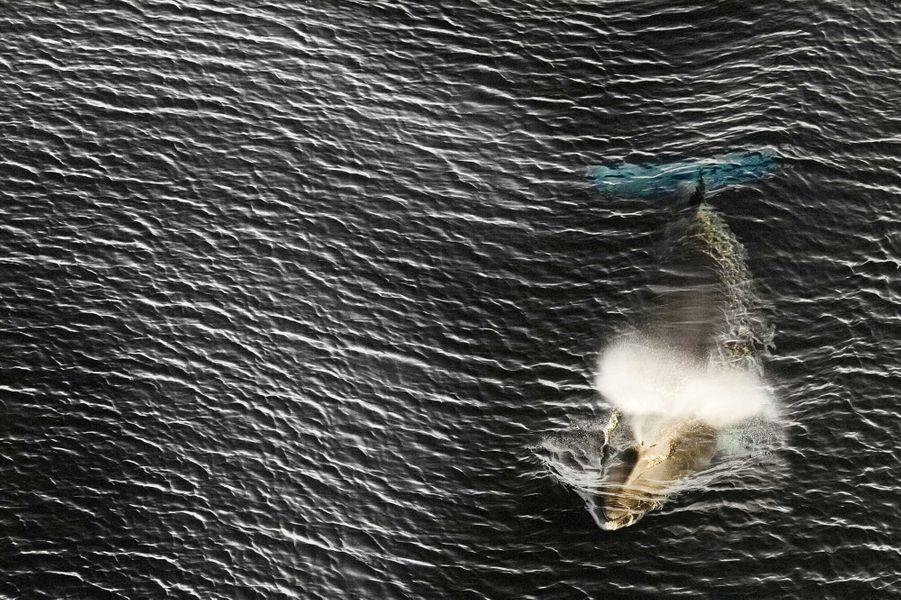 Minke Whale de John Weller