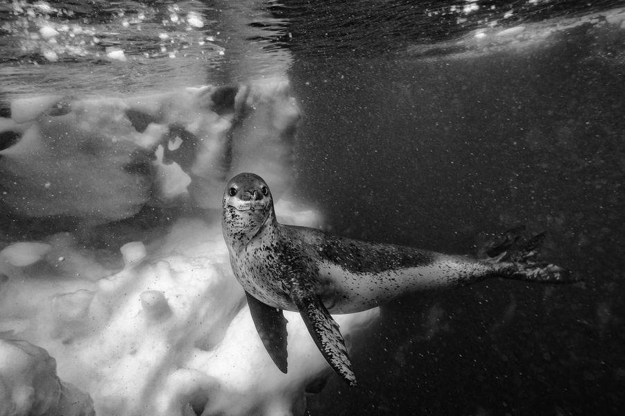 Leopard Seal de Paul Nicklen