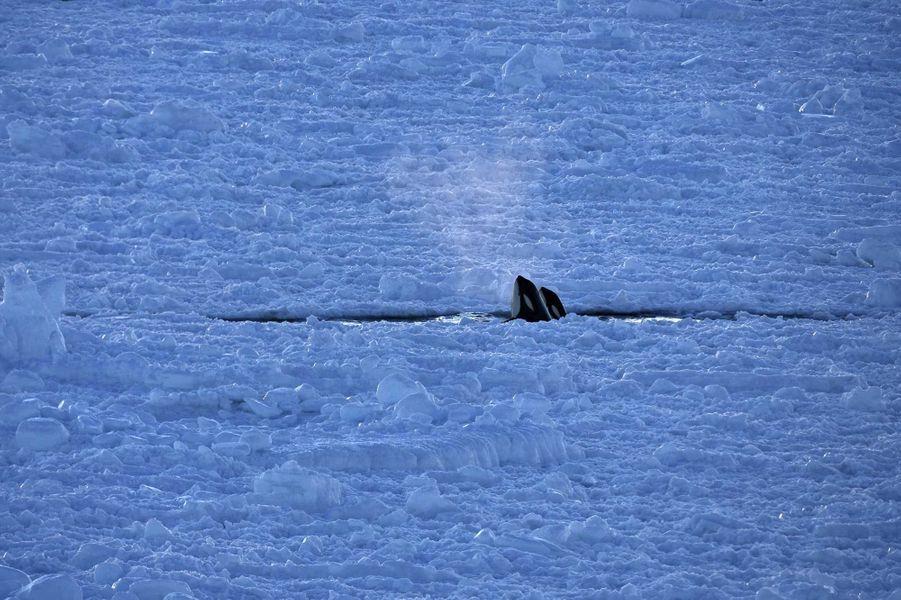Orcas in the sea ice de John Weller