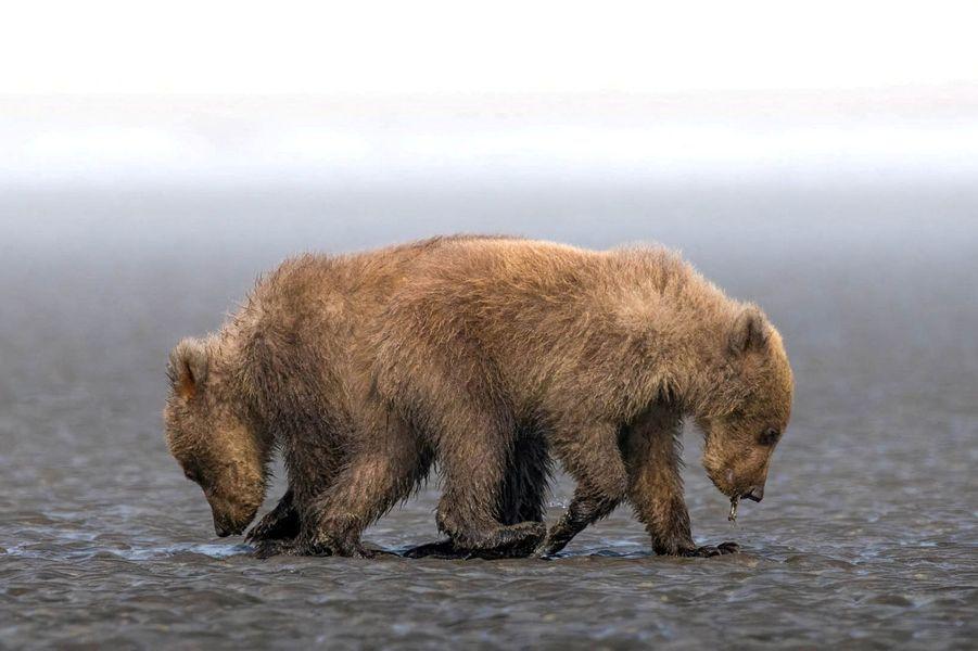 Deux oursons faux siamois, en Alaska.